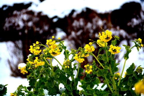1-14.01.26 なぎさ公園の菜の花.jpg