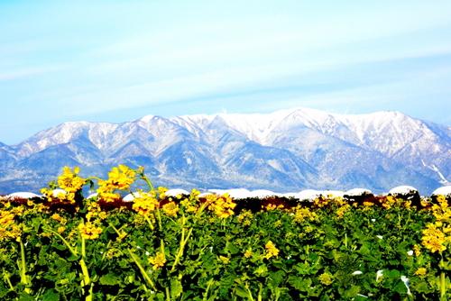1-14.01.26 比良山地の雪山と菜の花-1.jpg