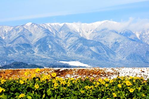 1-14.01.26 比良山地の雪山と菜の花-2.jpg