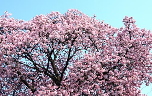 1-14.03.10 寒緋桜-1.jpg