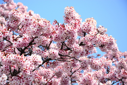 1-14.03.10 寒緋桜-2.jpg
