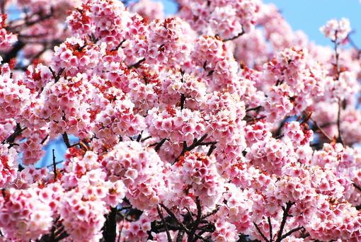 1-14.03.10 寒緋桜-3.jpg