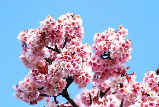 1-14.03.10 寒緋桜-4.jpg