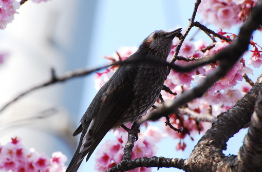 1-14.03.10 寒緋桜-5.jpg