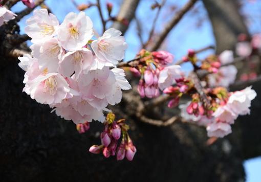 1-14.03.10 寒緋桜-6.jpg
