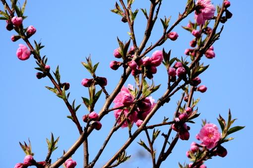 1-14.03.10 寒緋桜-7.jpg