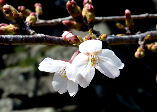 1-14.03.25 ソメイヨシノ開花-1.jpg