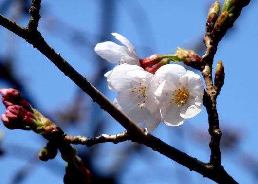 1-14.03.25 ソメイヨシノ開花-2.jpg