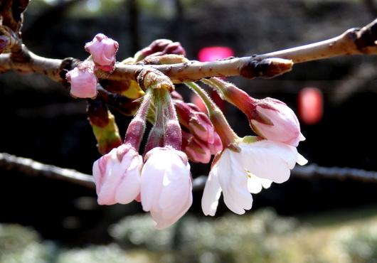 1-14.03.25 ソメイヨシノ開花-3.jpg