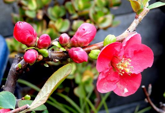 1-14.03.30 木瓜の花.jpg