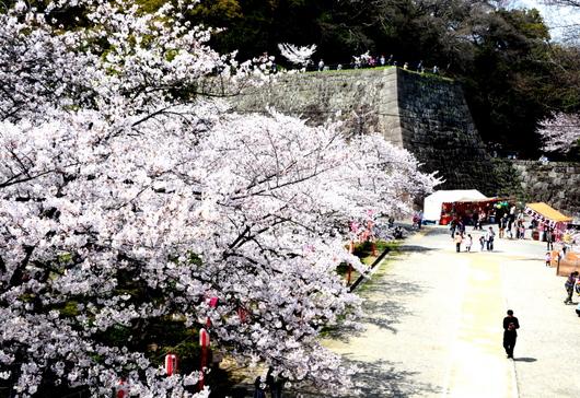 1-14.04.02 和歌山(城)公園の桜-2.jpg