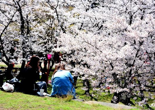 1-14.04.02 和歌山(城)公園の桜-5.jpg