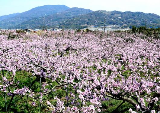 1-14.04.04 桃山町の桃-1.jpg
