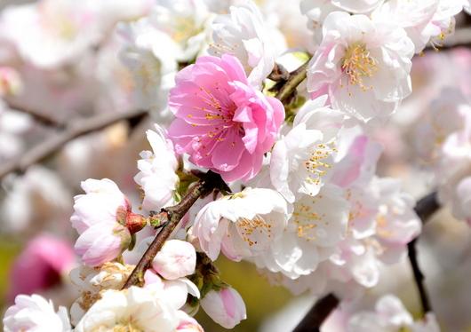 1-14.04.06 花桃-11.jpg