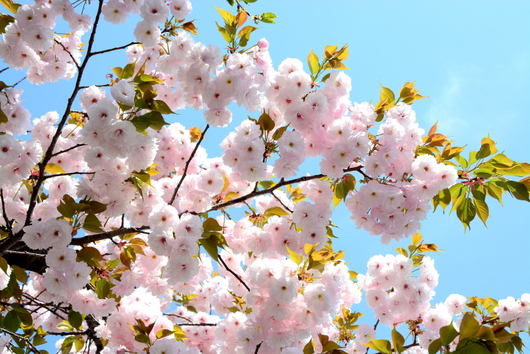 1-14.04.14 八重桜-1.jpg