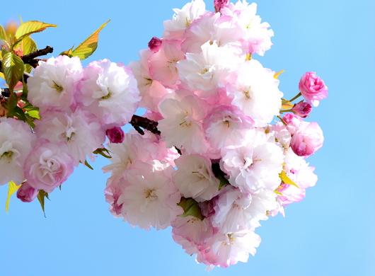 1-14.04.14 八重桜-2.jpg