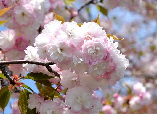 1-14.04.14 八重桜-3.jpg