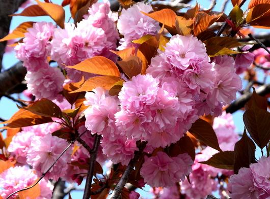 1-14.04.14 八重桜-4.jpg