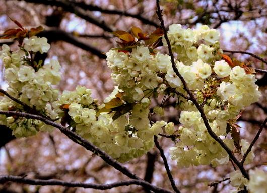 1-14.04.14 御衣黄桜-3.jpg