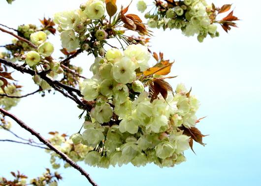 1-14.04.14 御衣黄桜-5.jpg