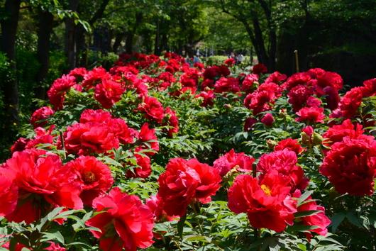 1-14.04.20 和歌山(城)公園の牡丹-1.jpg