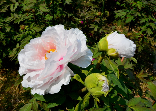 1-14.04.20 和歌山(城)公園の牡丹-6.jpg