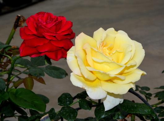 1-14.04.24 薔薇-2.jpg