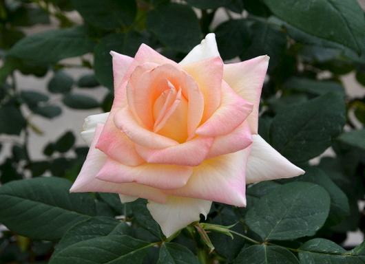 1-14.04.24 薔薇-3.jpg