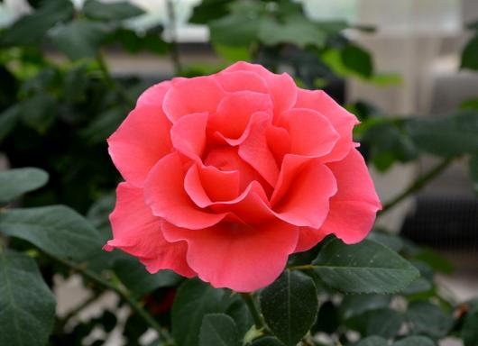 1-14.04.24 薔薇-4.jpg
