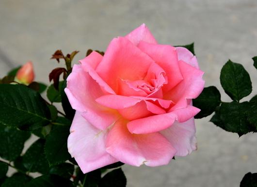 1-14.04.24 薔薇-6.jpg