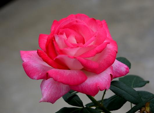1-14.04.24 薔薇-8.jpg