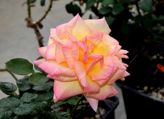 1-14.04.24 薔薇-9.jpg