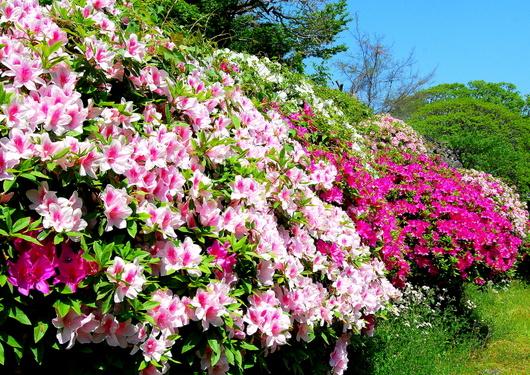 1-14.04.28 和歌山(城)公園のツツジ-1.jpg