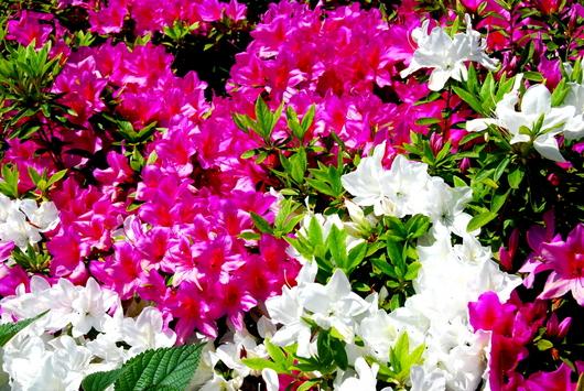 1-14.04.28 和歌山(城)公園のツツジ-6.jpg
