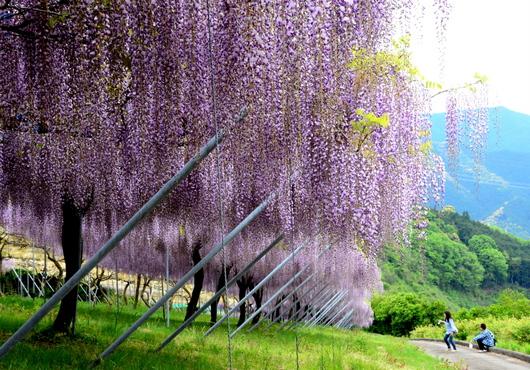 1-14.05.10 藤の花-1.jpg