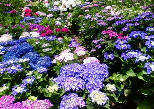 1-14.06.09 紫陽花-1.jpg