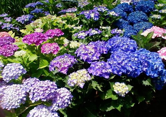 1-14.06.09 紫陽花-2.jpg