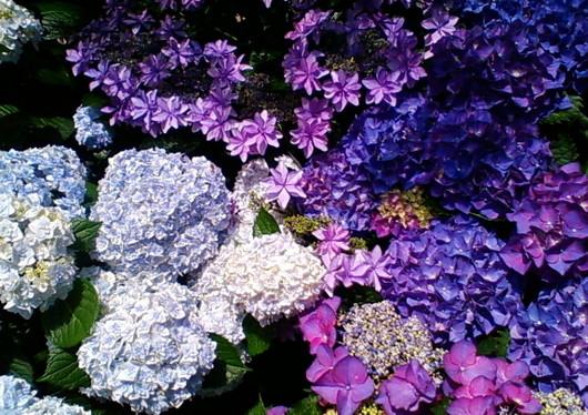 1-14.06.09 紫陽花-3.jpg