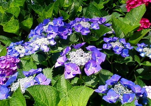 1-14.06.09 紫陽花-6.jpg