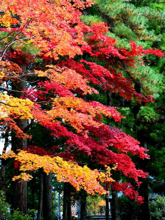 1-14.11.09 高野山紅葉-7.jpg
