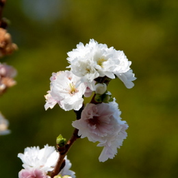 1-14.11.30 丹生神社の桜-1.jpg