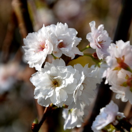 1-14.11.30 丹生神社の桜-2.jpg