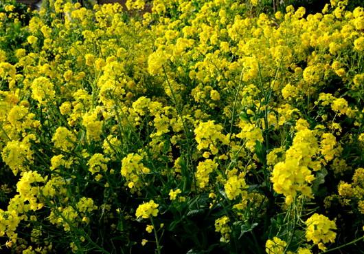 1-15.01.27 菜の花-0.jpg