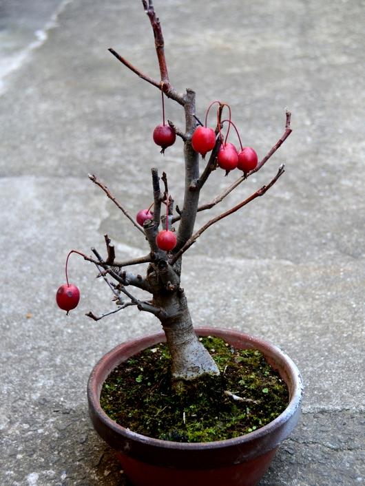 1-15.02.05 ヒメリンゴ.jpg
