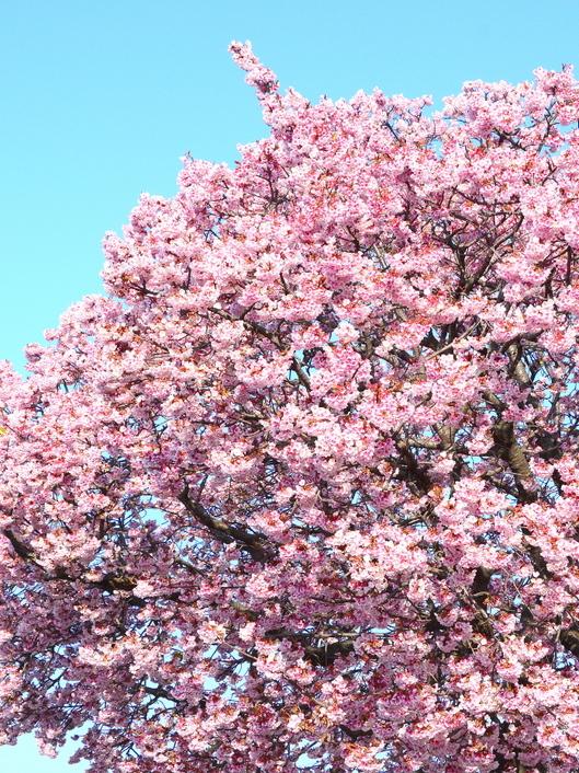 1-15.03.02 嘉ヶ作の桜-1.jpg