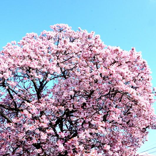 1-15.03.02 嘉ヶ作の桜-2.jpg