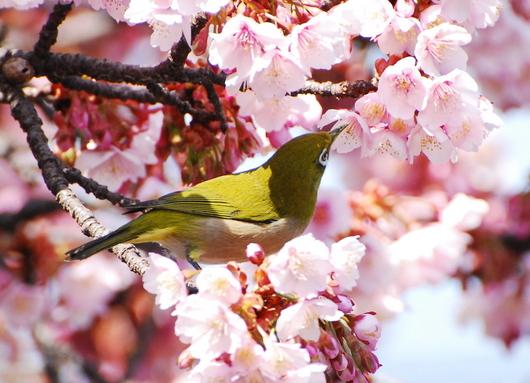 1-15.03.02 嘉ヶ作の桜-4.jpg