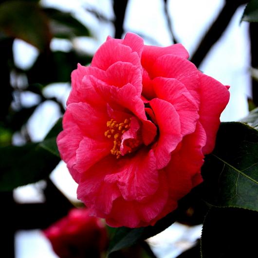1-15.03.09 椿.豊麗茶(ホウレイチャ).jpg
