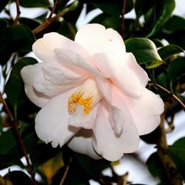1-15.03.11 椿.春の曙.jpg
