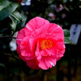 1-15.03.11 椿.百路の日暮(モモジノヒグラシ).jpg